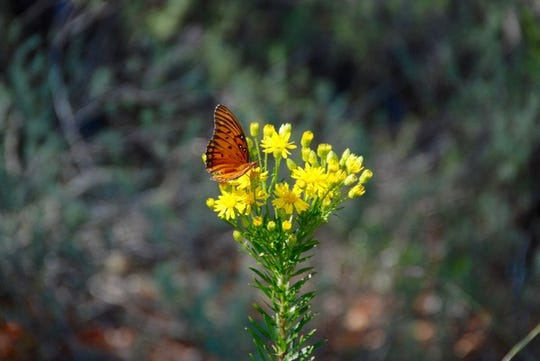 A monarch butterfly on a wildflower found along 30A in the month of September.