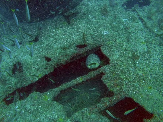 A goliath grouper peeks out from the remains of the Tug Kathleen, which was sunk in the Atlantic Ocean off St. Lucie County to create an artificial reef.