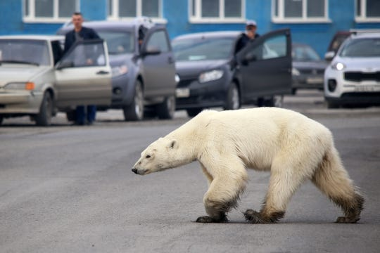 A stray polar bear walks on a road on the outskirts of the Russian industrial city of Norilsk on June 17, 2019.