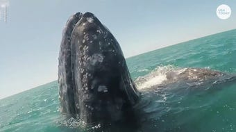 A gray whale calf in San Ignacio Lagoon, Mexico gave some boat passengers an unforgettable experience.