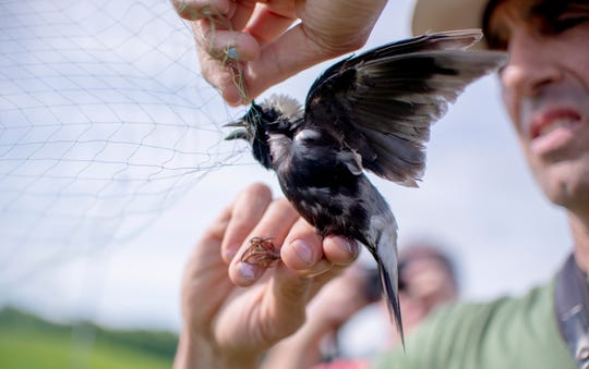 University of New England researcher Noah Perlut removes a male bobolink from a net used to catch the birds.