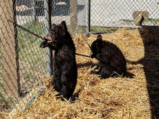 Sophie, left, as a cub in 2018 with her littermate Sassy. Sophie was shot and killed by a deputy in April 2019 after escaping from the Oswald Bear Ranch in Newberry, Michigan during a power outage.
