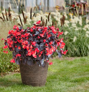 Begonia_Viking-XL, Red-on-Chocolate is a 2019 AAS Winner. (Photo courtesy of Sakata Seed).