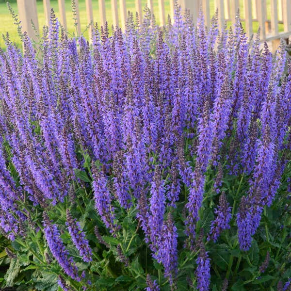 Salvia 'May Night,' with its beautiful deep purple blossoms, is in full bloom now. Keep this award winner deadheaded and it will continue to flower for half the summer.