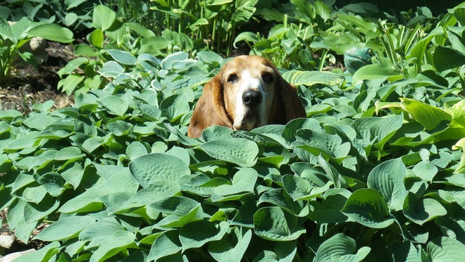 """Basset Hound Hosta"" is this week's winner of the Homestyle Garden Photo Contest."