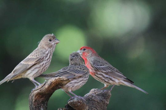 Two fledgling house finches, errant feather tufts still sprouting from their crowns, pester their father for a handout.