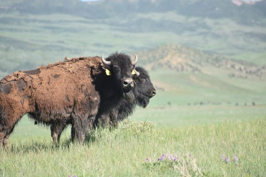 Two of the eight bison released onto the Soapstone Prairie Natural Area on Tuesday look out onto the prairie. The herd now numbers 76.