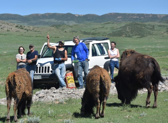 From left, Mary Guiden, Karl Held, Ross Cordova, Matt McCollum and Jennifer Barfield feed pellets to the Laramie Foothills Bison Conseration Herd on Tuesday at Soapstone Prairie Natural Area.