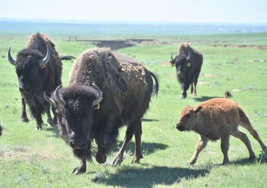 A calf and its mother make their way to handlers at Soapstone Prairie Natural Area in June. The herd is thriving after 3½ years. It started as 10 genetically pure descendants from the Yellowstone National Park bison herd and has grown to 76, including a dozen calves this season.