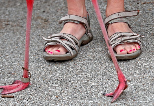 All kinds of feet are seen during the Flamingo Mingle at the Indianapolis Zoo, Thursday, June 13, 2019.