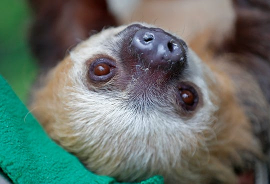 Quinto, a Hoffman's Two-Toed sloth hangs out in the MISTery Park at the Indianapolis Zoo, Thursday, June 13, 2019.