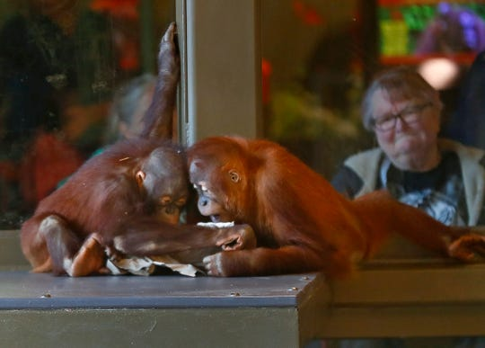Baby orangutans play in the Simon Skjodt International Orangutan Center as visitors observe at the Indianapolis Zoo, Thursday, June 13, 2019.