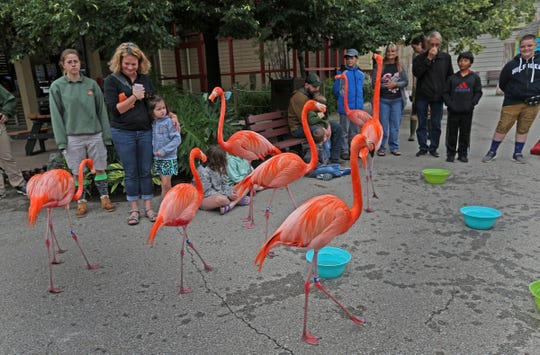 Visitors get a close-up view of flamingos during the Flamingo Mingle at the Indianapolis Zoo, Thursday, June 13, 2019.