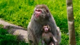 The Milwaukee County Zoo welcomes the first healthy Japanese macaque monkey in 26 years.
