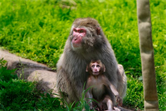 Negai keeps her 6-week-old baby close at the Milwaukee County Zoo on Thursday. The male macaque monkey is the first healthy snow monkey born at the zoo in 26 years.