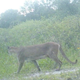 'It brings us hope': Mother panther, kittens captured on video in Hendry County