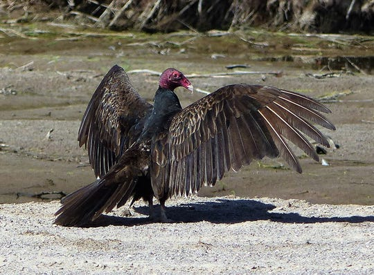A turkey vulture takes a morning sunbath on a riverbed.