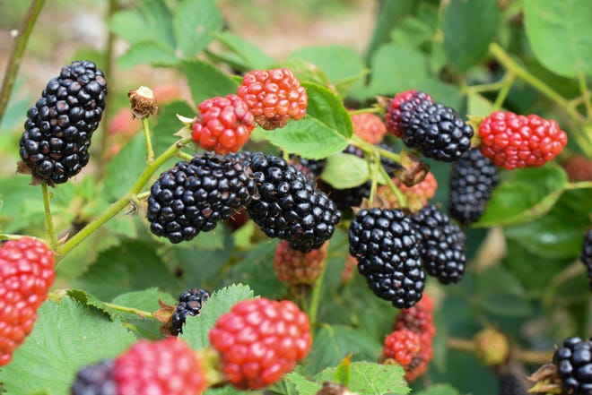 Blackberries in various stages of ripeness at Persimmon Hill Berry Farm.