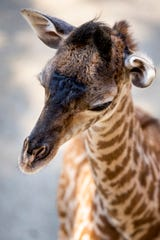 Fennessy, the 147-pound male calf, makes his official media debut at The Cincinnati Zoo & Botanical Garden's Giraffe Ridge Friday, June 21, 2019, which is World Giraffe Day. He was born on June 17, 2019 to parents Tessa and Kimba. He is named after the giraffe conservationist and founders of World Giraffe Day, Julian and Stephanie Fennessy.