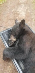 A black bear entered a Missoula-area home Friday morning and reportedly took a nap on a closet shelf. The bear was tranquilized by FWP and relocated.