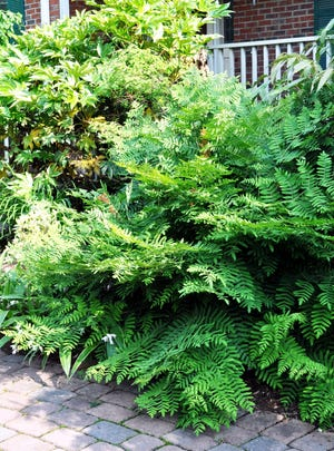 Our native royal fern makes quite a statement in ordinary garden soil and part sun, though found only in wet sites in the wild.