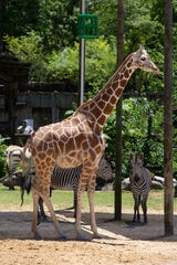 Zoo Knoxville giraffe Frances, 3, is showing signs of advanced pregnancy and is due in a few weeks.