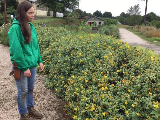 KBGA director of horticulture Amanda Spangler says St. John's Wort can be a reliable and thriving addition to a pollinator garden.   June 19, 2019.