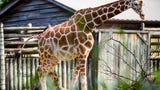 Petty Grieve, curator of Grasslands Africa and Asian Trek, talks about how the zoo realized Frances the giraffe is pregnant.