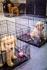 Puppies sit in their crates at Golden PAWS Assistance Dogs in Naples on Thursday, June 20, 2019.