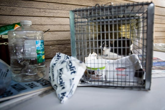 A feral cat recovers from surgery at the home of Community Cats of Bonita Springs volunteer Wendy Stearns in Bonita Springs on Thursday, June 20, 2019. The group traps stray cats, takes them to the vet to be spayed or neutered, and either returns them or tries to get people to adopt them, especially if they are kittens.