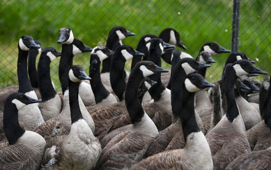 Canada geese huddle together before receiving leg bands Thursday, June 20, in Sioux Falls.