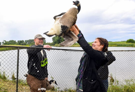 Jess Speiser, wildlife technician, hands a rambunctious goose to Pat Hybertson while conducting population research Thursday, June 20, in Sioux Falls.