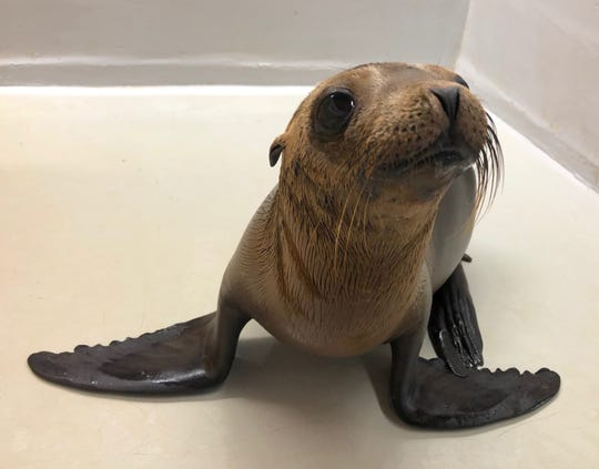 A sea lion pup at the Channel Islands Marine & Wildlife Institute in Goleta.