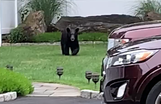 A bear roamed through a yard on Oakbrook Road in Ossining on June 20, 2019.