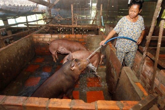 Cambodian Aok Kim cleans her pigs near her home in Ta Prum village outside Phnom Penh, Cambodia, Thursday, June 20, 2019. Asian nations are scrambling to contain the spread of the highly contagious African swine fever with Vietnam culling 2.5 million pigs and China reporting more than a million dead in an unprecedentedly huge epidemic some governments fear has gone out of control.