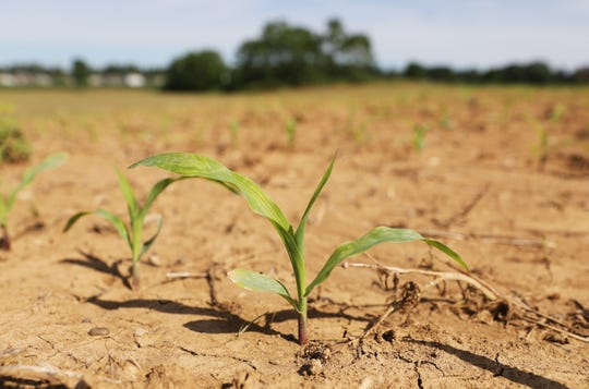 A young corn plant in a field near Trinway. One of the last fields planted in the immediate area, nearby corn was 2 feet tall but still well short of the expected waist-high height normally expected by early June.