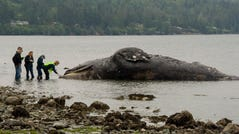 Officials examine a decomposing whale that washed ashore, Tuesday, May 28, 2019, in Port Ludlow, Wash. The National Oceanic and Atmospheric Administration is looking for private landowners who'd be willing to let a dead whale decompose on their property. The unusual request comes two weeks after the federal agency announced they would study what has caused 81 gray whales to wash up dead on beaches in Alaska, Washington, Oregon and California. (AP Photo/Mario Rivera)