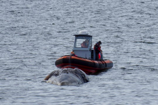 Officials tow a decomposing whale, Tuesday, May 28, 2019, in Port Ludlow, Wash., to a private beach.