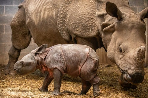 Tashi, a greater one horned rhino, gave birth to her fourth calf.