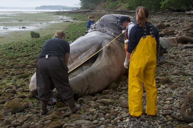 Veterinarian Stefanie Worwag, right, participates in a necropsy on a decomposing whale in front of her home, Monday, June 3, 2019, in Port Hadlock, Wash.
