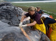 Thousands of whales are dying. Scientists have run out of public beaches for the carcasses to rot