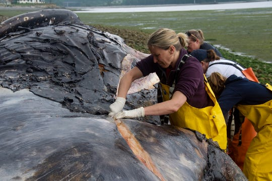 Veterinarian Stefanie Worwag participates in a necropsy on decomposing whale if front of her home, Monday, June 3, 2019, in Port Hadlock, Wash.