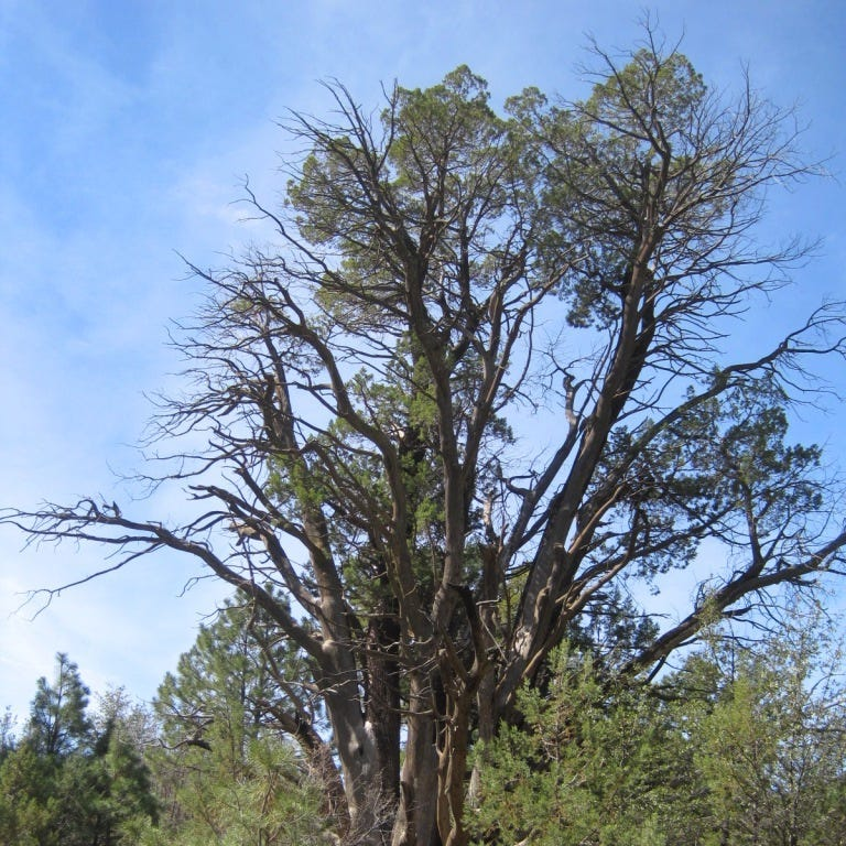 Crews fight to save centuries-old Mother Tree in Arizona's Superstition Wilderness