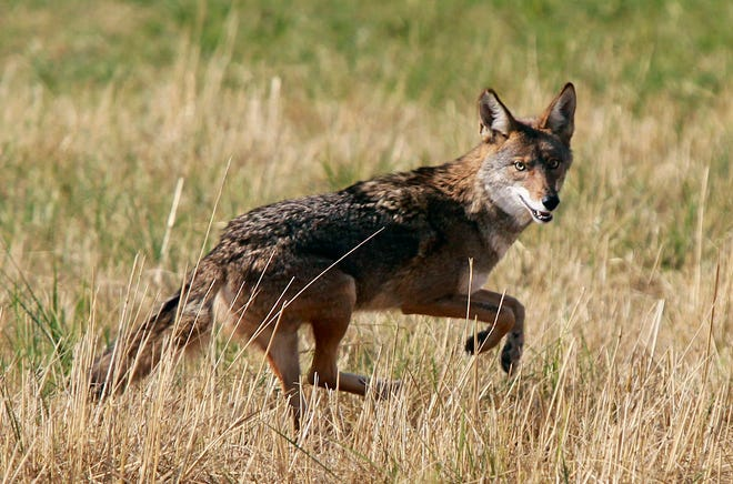 In this Sept. 11 2015, file photo, a coyote leaps through an empty field on Chad Drive in Eugene, Ore. The Arizona Game and Fish Commission on Friday, June 21, 2019, voted to ban organized contests where hunters try to kill the most coyotes or other predators for prizes like cash or hunting equipment.