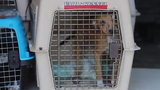 A 'Wings of Rescue' flight brought nearly 100 dogs to Delaware before the Brandywine Valley SPCA's 'Mega-Adoption event.