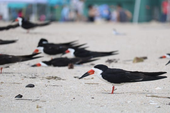 Black Skimmers are seen on the beach north of Jenkinson's Aquarium in Point Pleasant Beach.