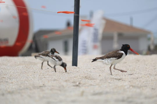An American Oystercatcher with chicks is seen north of Jenkinson's Aquarium in Point Pleasant Beach.