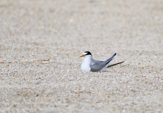 Least Terns are nesting north of Jenkinson's Aquarium in Point Pleasant Beach.