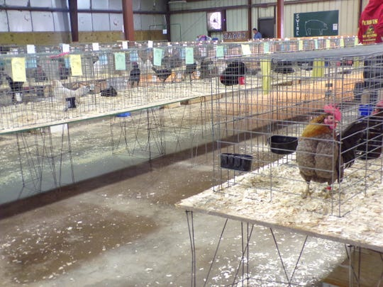 The entire building was full of tables with cages containing hundreds of birds at the Sauk Trail Poultry Show in Hillsdale, MI. It was an APA sanctioned show.