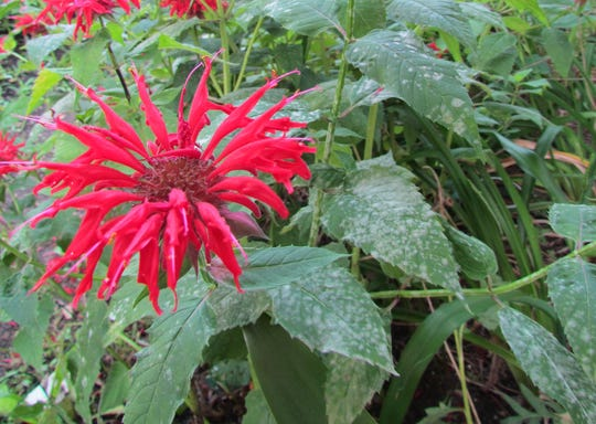 The perennial bee balm is susceptible to powdery mildew on leaves. It's an aesthetic, rather than deadly issue.
